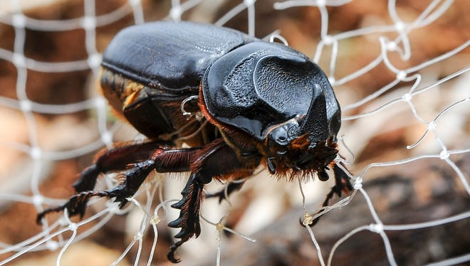 A coconut rhinoceros beetle.
