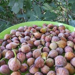 Cooking School: Fig season is finally here, and how sweet it is!