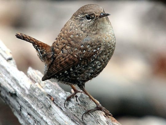 Winter wrens are tiny, energetic birds of the forest