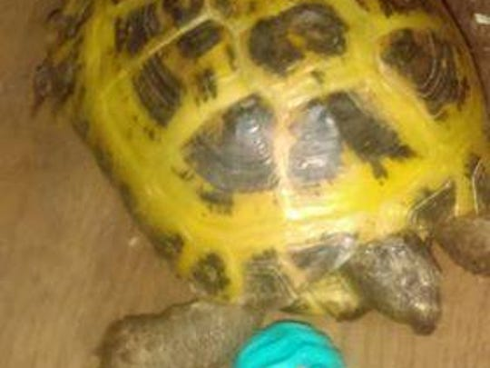 Buddy, a Russian tortoise, was taken from her enclosure