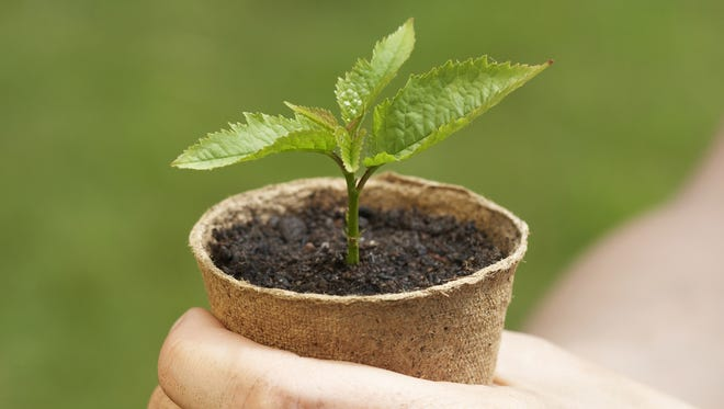 This seedling is ready to be planted in a more permanent home.