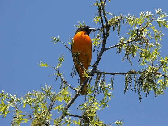 A male Baltimore oriole sings from a perch in Lyndhurst.