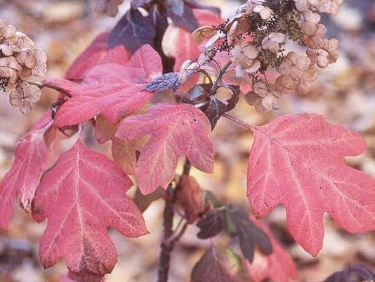 Oak Leaf Hydranges