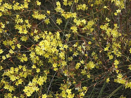 Winter Flowering Jasminum