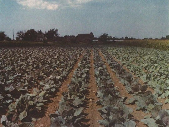 Cabbage, seen in this circa 1962 photo, was the last crop raised on the land.