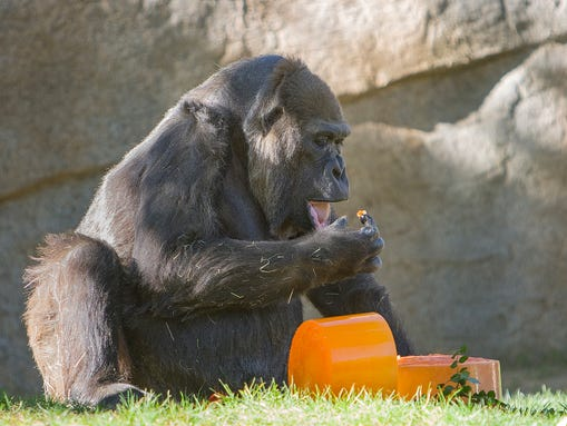 A 57-year-old western lowland gorilla prepares to eat