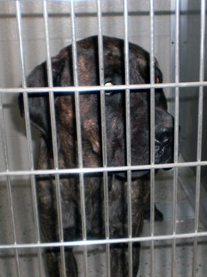 This is one of the two Cane Corsos in quarantine at the Lapeer County Animal Shelter that fatally attacked a Livonia man  July 23, 2014, while he jogged in Metamora Township, Mich.