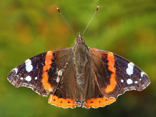 636275339994394980-Red-Admiral-Vanessa-atalanta-By-Ernie-Own-work-Public-domain-via-Wikimedia-Commons.jpg