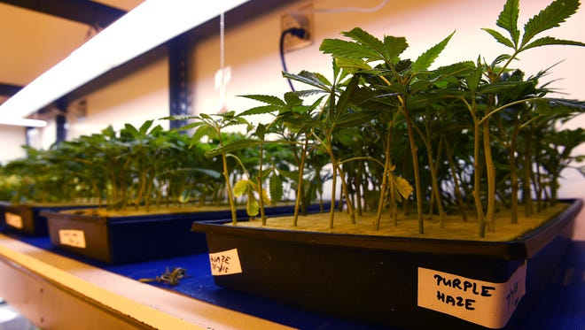 Young clippings, which will eventually grow into mature plants, are seen at the Silver State Relief medical marijuana grow facility in Sparks on July 24, 2015.