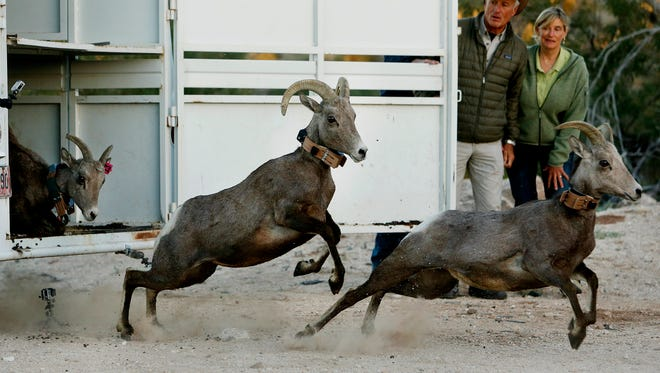 In this Thursday, Nov. 20, 2014 file photo, Jack Hanna, second from right, opens a hatch to release three of 14 bighorn sheep into the Santa Catalina mountains near Pima Canyon in Tucson, Ariz.