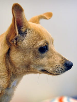 Zach is a 4-month-old, tan Chihuahua mix. He is sweet but a little timid at first. Zach is available for adoption at the Wichita Falls Animal Services Center.
