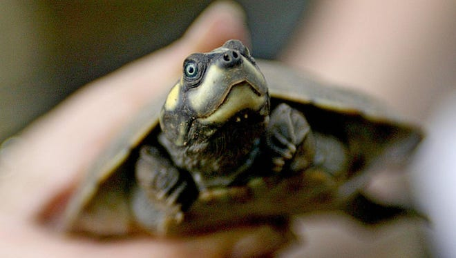 A giant South American turtle hatchling. Adults often grow to be 3 feet long.
