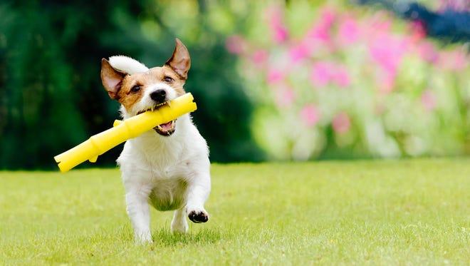 Dog plays fetch game
