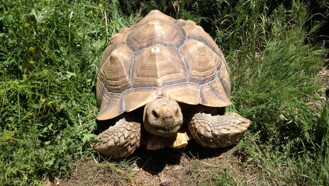 An estimated 200-year-old tortoise similar to this desert tortoise named Hide and Seek, living at Christiana Green's Green Acres Ranch in Anza, Calif., was fatally struck on Interstate 10 in Whitewater, Calif., on Sunday, Oct. 13, 2013.
