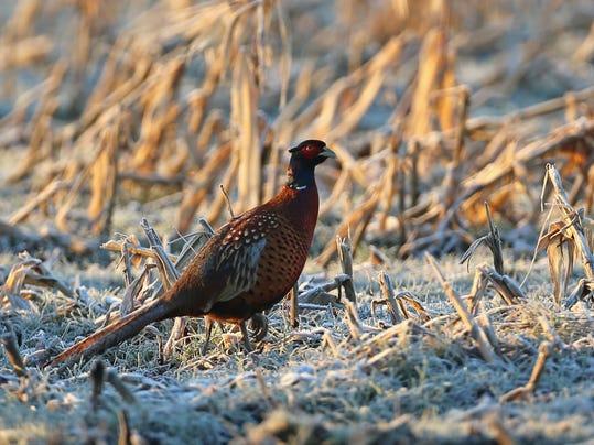 pheasant .jpg