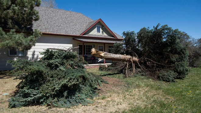 A tree knocked over by overnight wind sits in the fort yard of a home at the corner of West Elizabeth Street and Rocky Road on Wednesday, April 18, 2018, in Fort Collins, Colo.