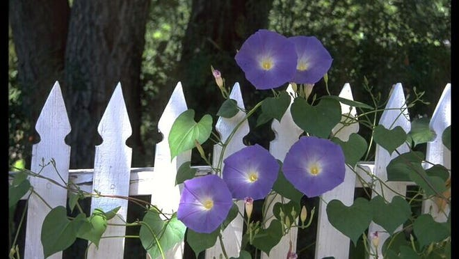 Thin stems of morning glory vines contain alkaloid rich sap that is a poison easily absorbed into sweaty skin.