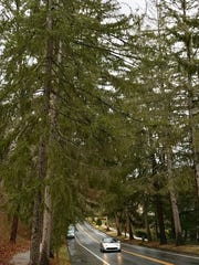 Norway spruce trees line parts of Kimberly Avenue.