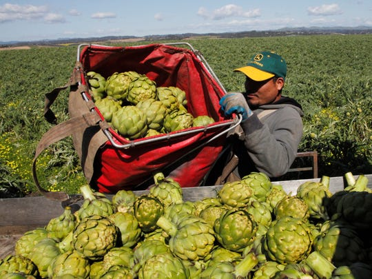 The spring heirloom artichoke harvest has begun on acreage growing for Ocean Mist Farms.