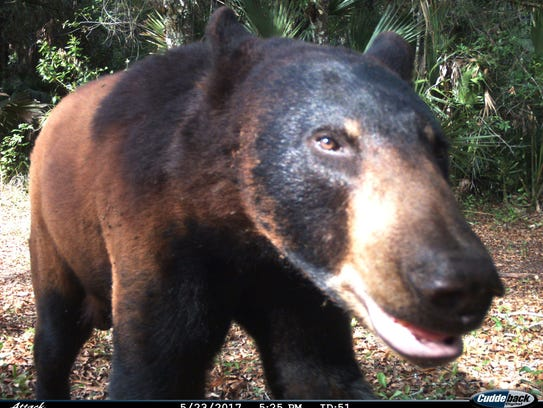Black bears have longer noses and pointier ears than grizzly bears, which have dished faces and rounded ears.