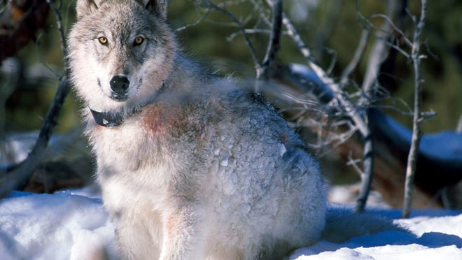 A file image of a gray wolf from the U.S. Fish and Wildlife Service. That agency's decision to drop Great Lakes gray wolves from the endangered species list set off a heated debate in Michigan about whether the wolves should be hunted. Two proposals on the Nov. 4 ballot give citizens their first chance to vote on the issue, although an initiated statute passed in August may make the results moot.