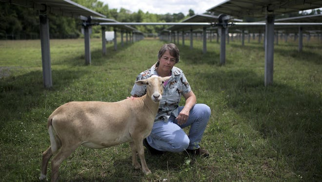 Julie Bishop pets one of her 'living lawnmowers' at KDC Solar in Vineland.