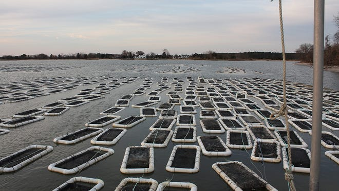 Oysters grow in a floating 4-acre aquaculture field run by Choptank Oyster Company near Cambridge, Maryland in Dorchester County.