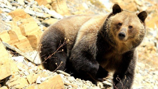 A grizzly bear in Glacier National Park.