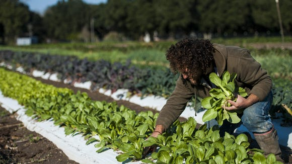In this Advertiser file photo, Chaz Jones picks vegetables in a field at Gotreaux Family Farms in Scott. Brian Gotreaux, owner of the farm, is working to open Acadiana's first local food hub.