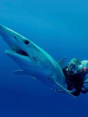 Guy Harvey swims with a mako shark.