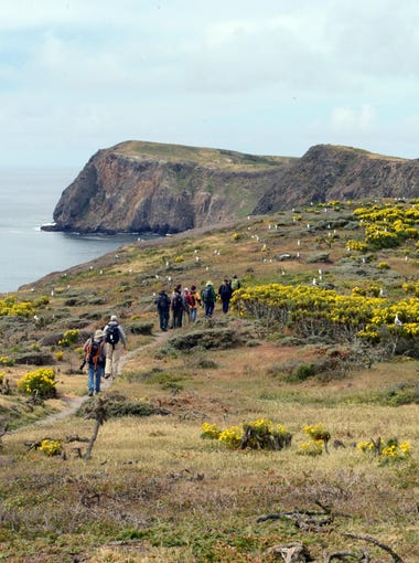 Visitors to Anacapa Island see a thick blanket of giant coreopsis.