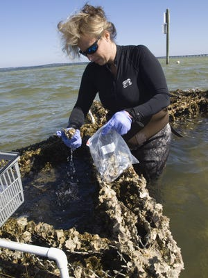 Marine Biologist Heather Reed collects a sample of oysters from Deadman's Island to be tested for possible oil contamination Friday morning March 11, 2011.