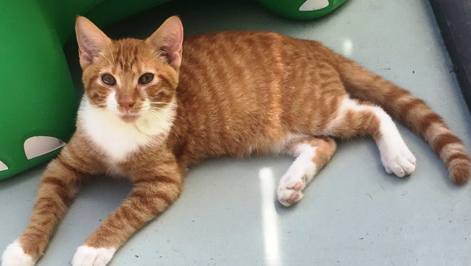 Jensen is a very lovable 3-month-old kitty with beautiful emerald green eyes. If you're looking for a lap cat, Jensen is your boy. He is a total lap potato.