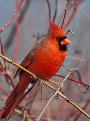 It's often the male birds that are vocalizing, like this Northern cardinal, and they're usually either trying to court a female or are telling another male that he's intruding on someone else's territory.