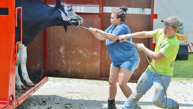 Justin Farnsworth and Lexi Farnsworth of the Guilford Go-fers 4-H club tug on the rope as their cow puts up a fight getting out of the trailer after arriving at the Medina County Fairgrounds in 2016.