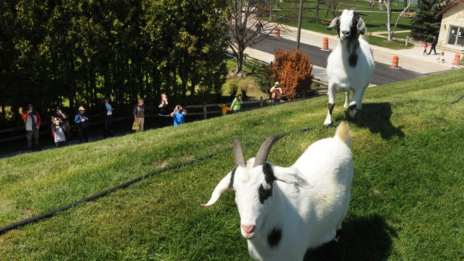 Al Johnson's Swedish Restaurant features goats in a rooftop pasture during the summer.