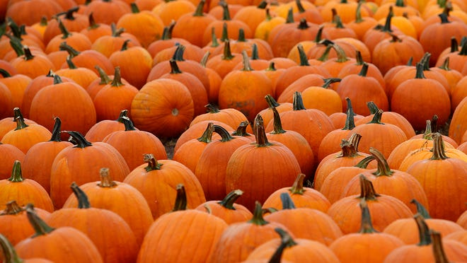 Pumpkins at Jacob's Family Orchard in a Star Press file photo.