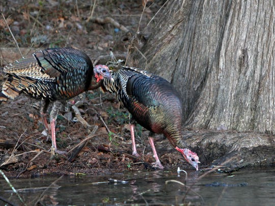 While winter trout fishing on the Guadalupe River near Sattler, Rio Grande wild turkey are among the wildlife anglers spot along banks.