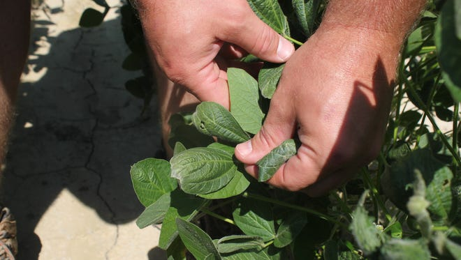FILE - In this July 11, 2017, file photo, a farmer shows the damage to soybean plants from dicamba in Marvell, Ark. Soybean and cotton farmers across the country are spending part of their winter undergoing free but mandatory training in how to properly use a weed killer that's been blamed for drifting and damaging crops in neighboring fields. The U.S. Environmental Protection mandated the training and imposed other restrictions last fall as part of a deal with three major agribusiness companies _ Monsanto, BASF and DuPont. All three make special formulations of dicamba designed for use on new soybean and cotton varieties.