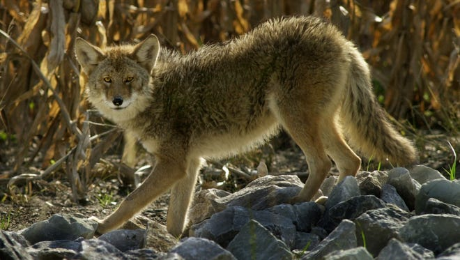 A coyote stands beside a Greenwood cornfield.
