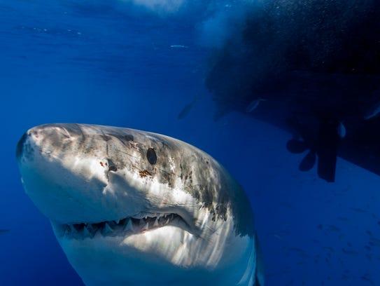 IMG_7918_George Probst_yourtake_ucg_shark2