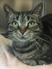 Maxi is a 3-year-old brown tabby girl who is super
