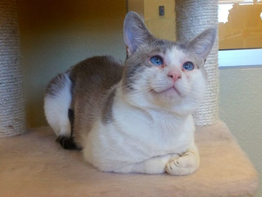 Seamus is a 2 1/2-year-old Siamese mix. He has a cute