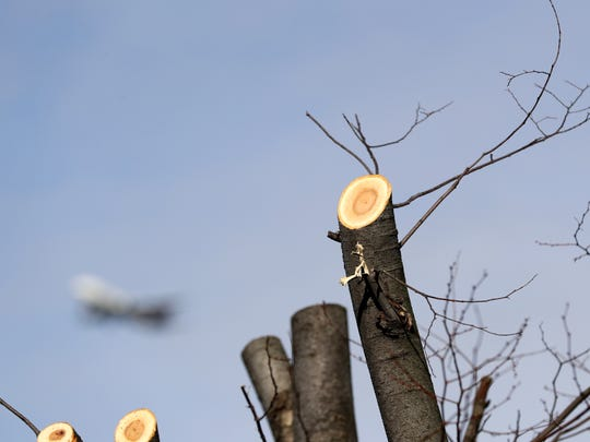 Trees that have been topped in Courier Journal parking