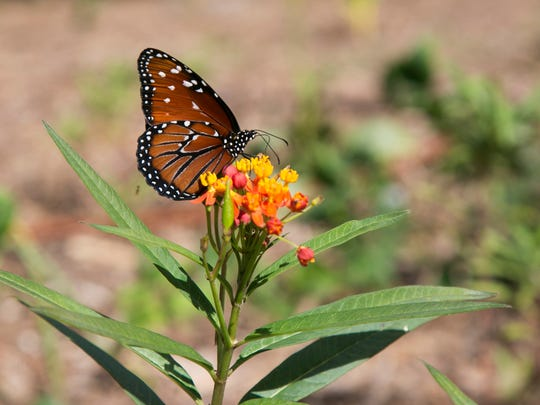 A queen butterfly perches on top of a milkweed plant at Christopher Carnrick's property in Naples.