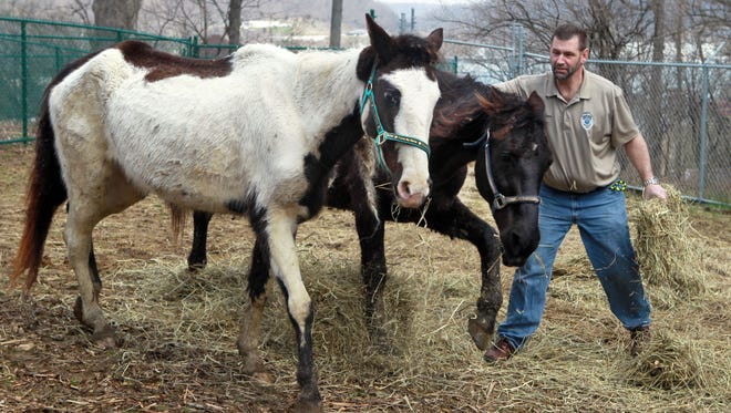 Two emaciated horses seized from Larry Browning's Pendleton County farm last April. The Appaloosa mare in the foreground was adopted and nursed back to health by Scott Pracht, the animal control officer who investigated Browning.