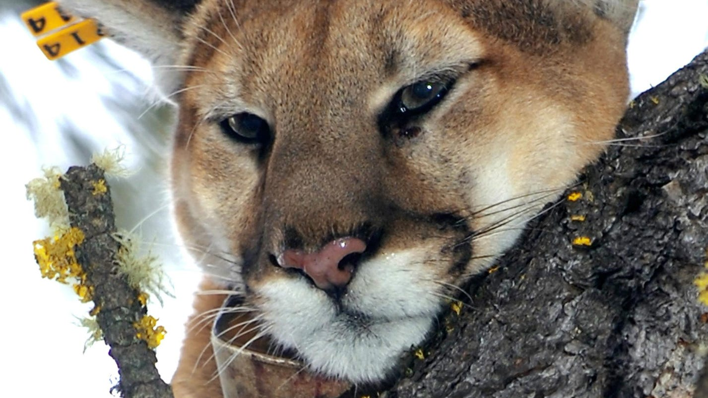 Montana outfitter to plead guilty in illegal mountain lion hunt case