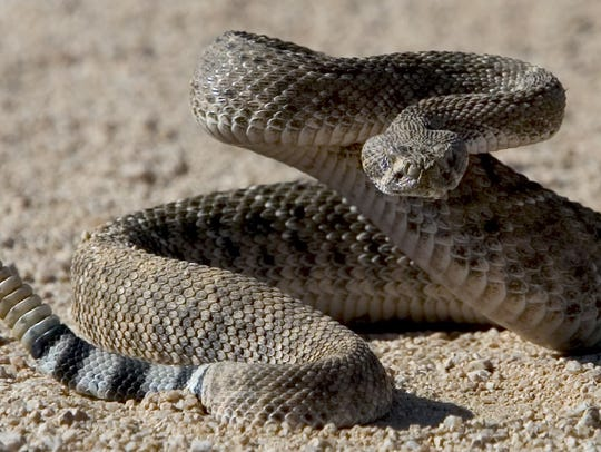 Thirteen species of rattlesnakes live in Arizona, more