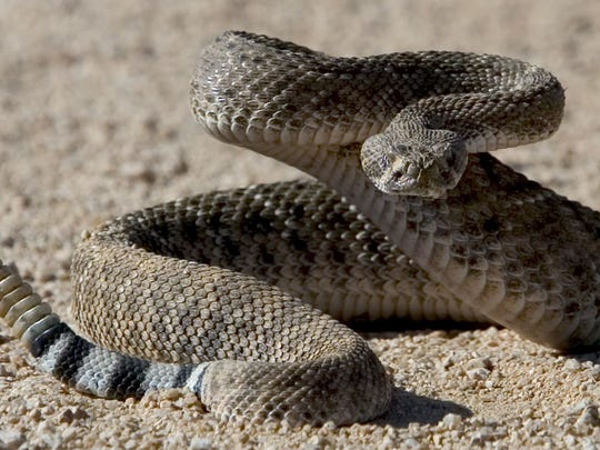 Thirteen species of rattlesnakes live in Arizona, more