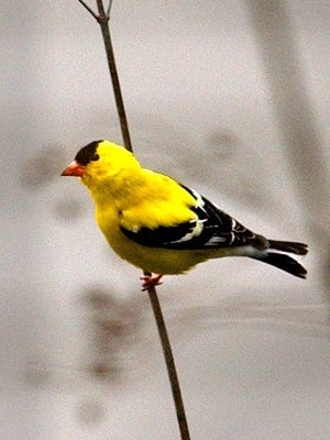 A goldfinch seen at the Wehr Nature Center in Franklin, one of several sites for this year's Christmas Bird Count.
